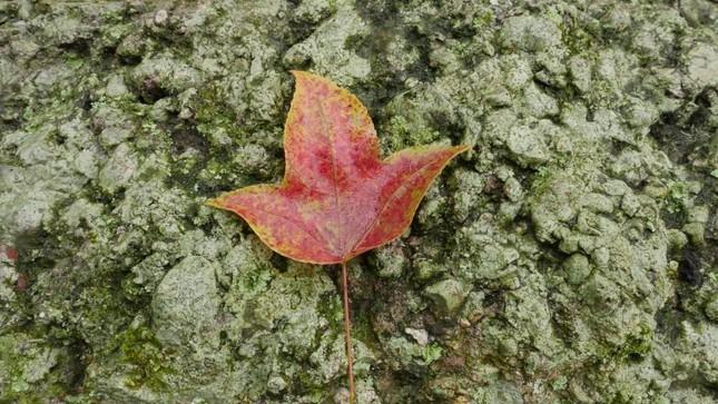 Bên trong rừng phong lá đỏ cổ thụ gần Hà Nội ảnh 11