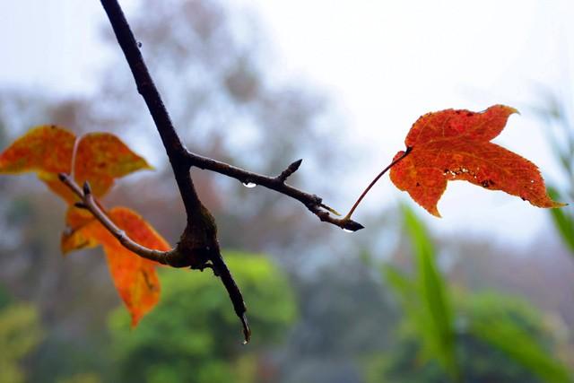 Bên trong rừng phong lá đỏ cổ thụ gần Hà Nội ảnh 1