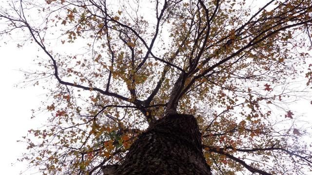 Bên trong rừng phong lá đỏ cổ thụ gần Hà Nội ảnh 2