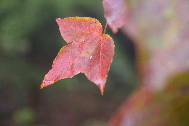 Bên trong rừng phong lá đỏ cổ thụ gần Hà Nội ảnh 4