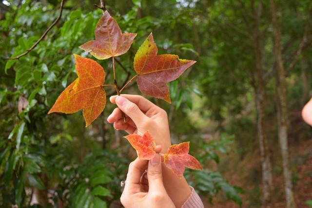 Bên trong rừng phong lá đỏ cổ thụ gần Hà Nội ảnh 5