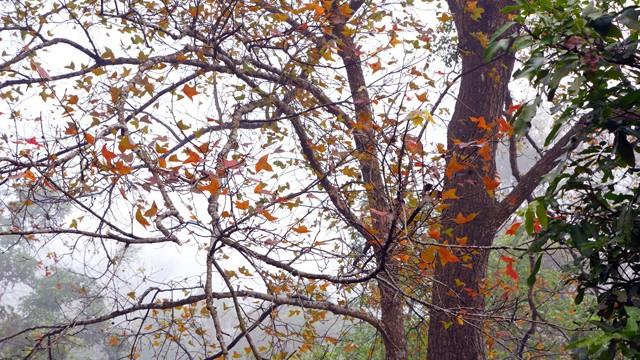 Bên trong rừng phong lá đỏ cổ thụ gần Hà Nội ảnh 6