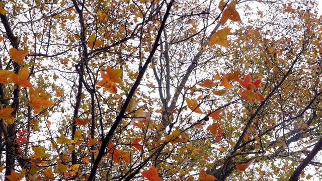 Bên trong rừng phong lá đỏ cổ thụ gần Hà Nội ảnh 7