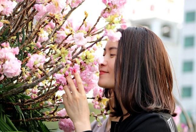 Hoa anh đào Nhật Bản làm say lòng người dân Hải Phòng ảnh 10