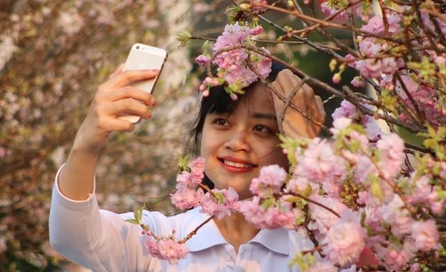 Hoa anh đào Nhật Bản làm say lòng người dân Hải Phòng ảnh 11