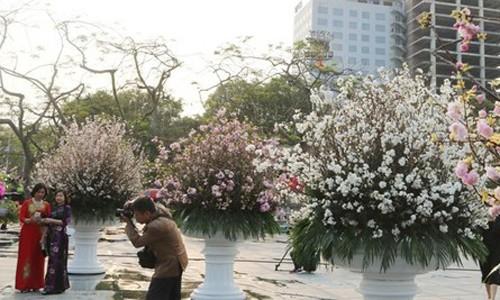 Hoa anh đào Nhật Bản làm say lòng người dân Hải Phòng ảnh 1