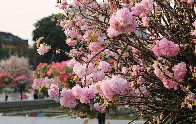 Hoa anh đào Nhật Bản làm say lòng người dân Hải Phòng ảnh 2