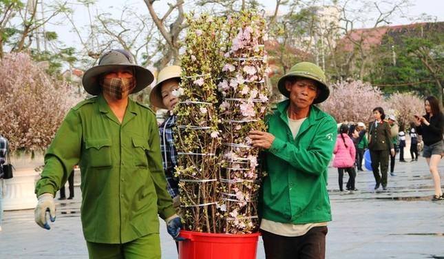 Hoa anh đào Nhật Bản làm say lòng người dân Hải Phòng ảnh 3