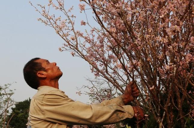 Hoa anh đào Nhật Bản làm say lòng người dân Hải Phòng ảnh 4