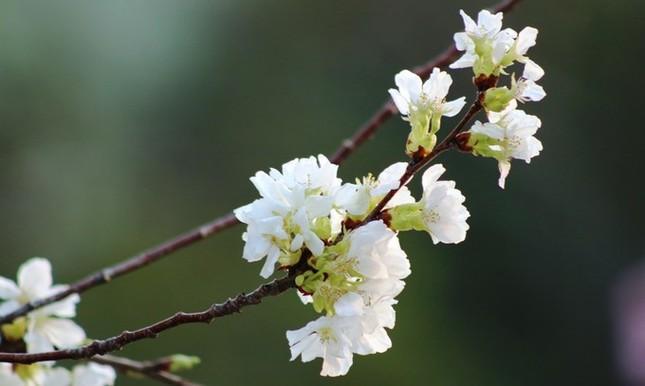 Hoa anh đào Nhật Bản làm say lòng người dân Hải Phòng ảnh 7