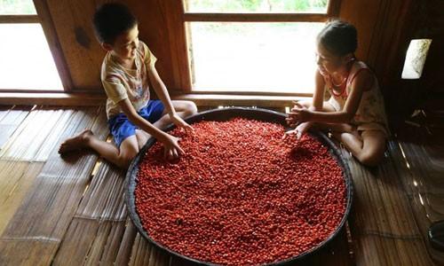 'Thủ phủ' trồng đặc sản dổi đổi vàng 9999 xứ Mường vào mùa thu hoạch ảnh 1