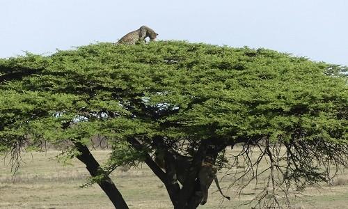 Báo đốm trèo lên ngọn cây để trốn sư tử ảnh 1