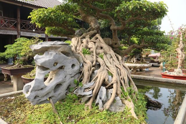 Đại gia gạ đổi 4 lô đất giá 9 tỷ lấy cây sanh cổ ôm đá đẹp hiếm có ảnh 3