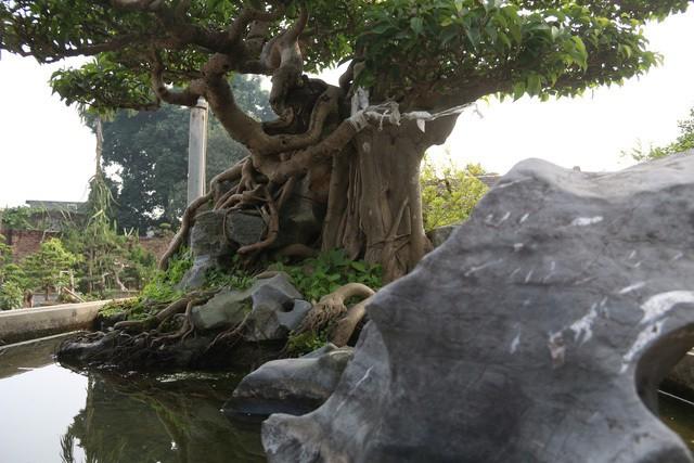 Đại gia gạ đổi 4 lô đất giá 9 tỷ lấy cây sanh cổ ôm đá đẹp hiếm có ảnh 6