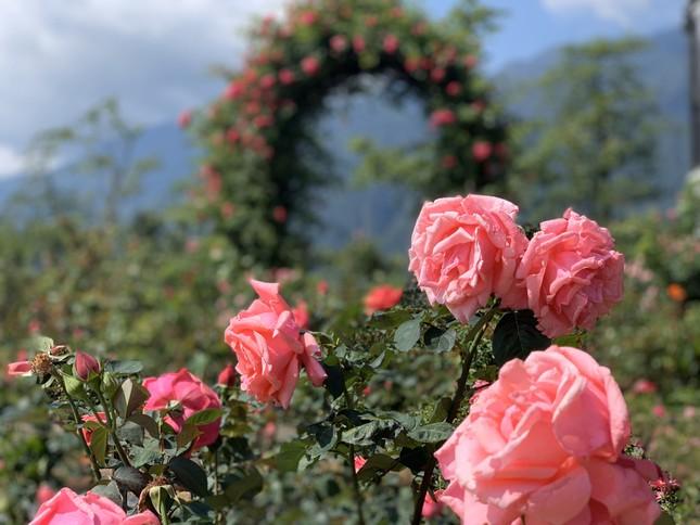 'Thung lũng hoa hồng lớn nhất Việt Nam' ở Sa Pa ảnh 5