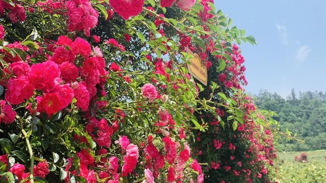'Thung lũng hoa hồng lớn nhất Việt Nam' ở Sa Pa ảnh 4