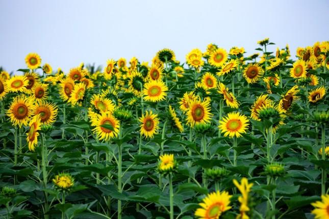 Rủ nhau check in đồi hoa mặt trời tại Ecopark ảnh 11