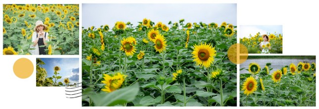 Rủ nhau check in đồi hoa mặt trời tại Ecopark ảnh 2