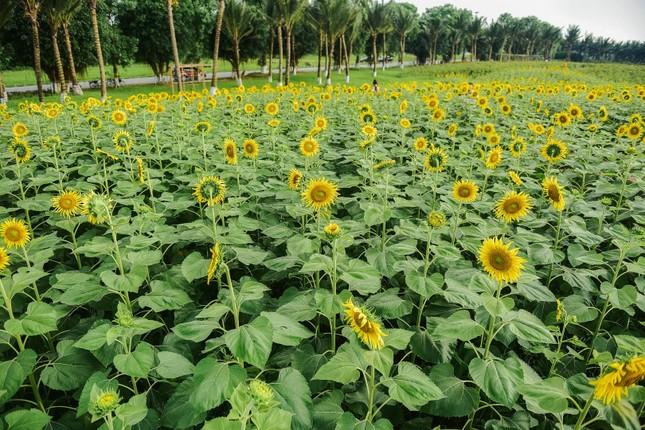 Rủ nhau check in đồi hoa mặt trời tại Ecopark ảnh 4