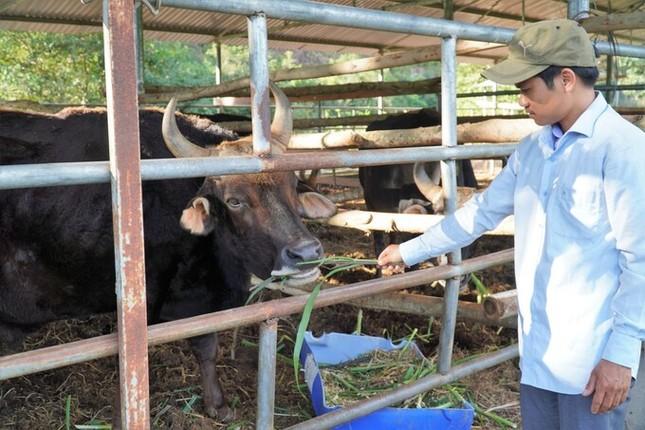 Đàn bò tót ốm trơ xương đã hồi phục ảnh 3