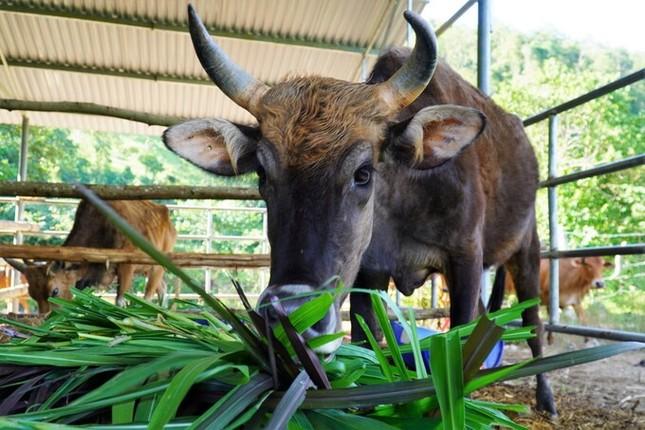 Đàn bò tót ốm trơ xương đã hồi phục ảnh 4