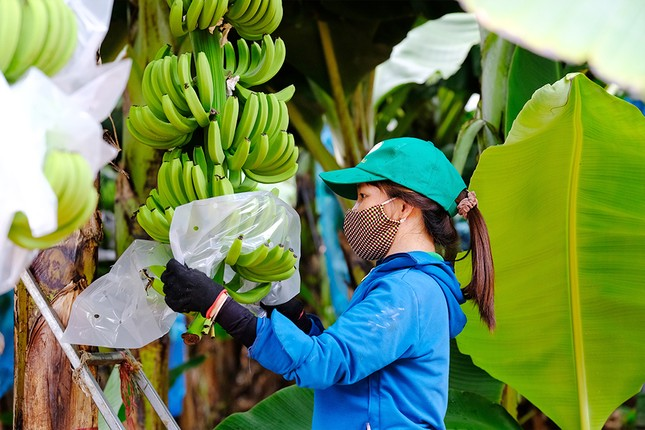Dấu ấn nông nghiệp công nghệ cao của KDI Holdings tại Tây Nguyên ảnh 4