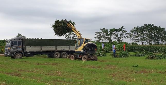 Cần 27,6 triệu tấn/năm ngô sinh khối để chăn nuôi đại gia súc ảnh 2