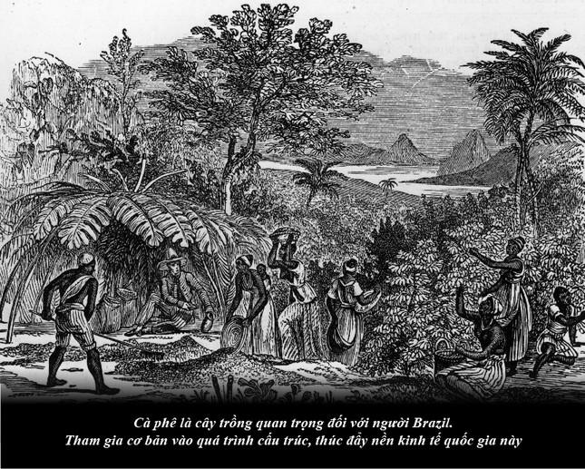 Kỳ 63: Brazil từ thuộc địa trở thành cường quốc cà phê thế giới ảnh 2