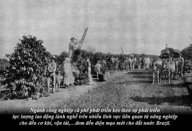 Kỳ 63: Brazil từ thuộc địa trở thành cường quốc cà phê thế giới ảnh 3