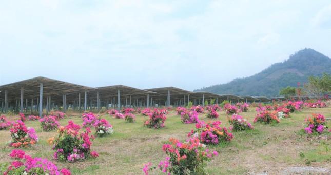 Thảo nguyên điện xanh dưới chân núi Cấm ảnh 3
