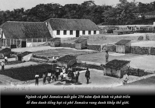 Kỳ 65: Jamaica – sự quyến rũ của vùng nguyên liệu cà phê nơi cao nhất thế giới ảnh 3