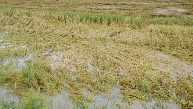 Hàng ngàn héc ta lúa và cây ăn trái bị ảnh hưởng do ngập úng ảnh 1