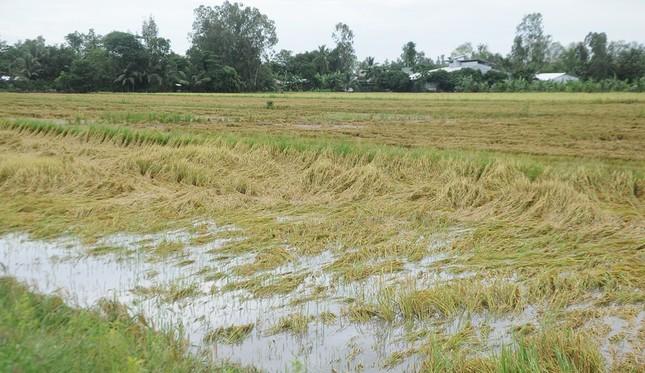 Hàng ngàn héc ta lúa và cây ăn trái bị ảnh hưởng do ngập úng ảnh 5