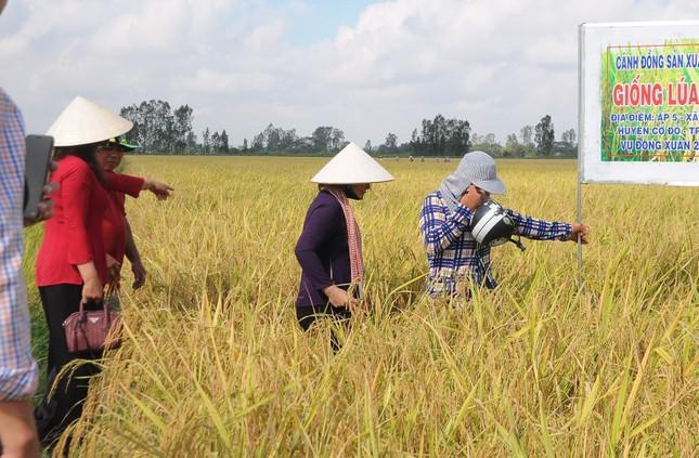 Giá lúa cấp thấp tăng cao, vượt cả lúa thơm ảnh 2
