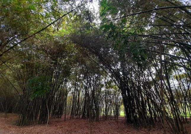 Khám phá vườn tre 'độc nhất vô nhị' ở miền Tây ảnh 2