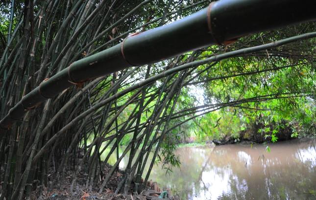 Khám phá vườn tre 'độc nhất vô nhị' ở miền Tây ảnh 4