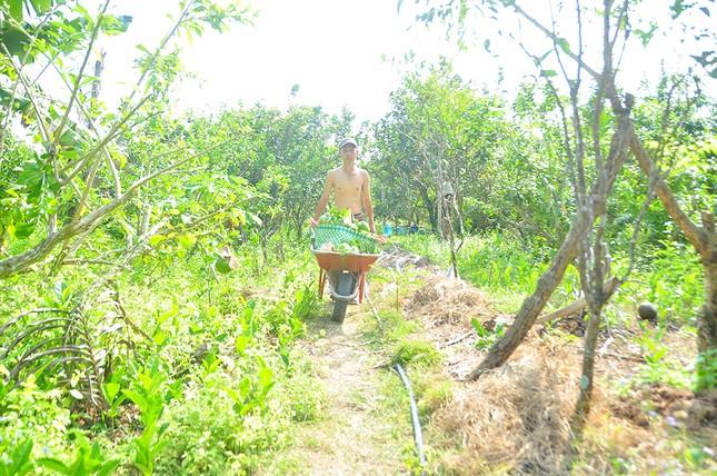 Mê mẩn với vườn đào tiên thư pháp của lão nông miền Tây ảnh 5