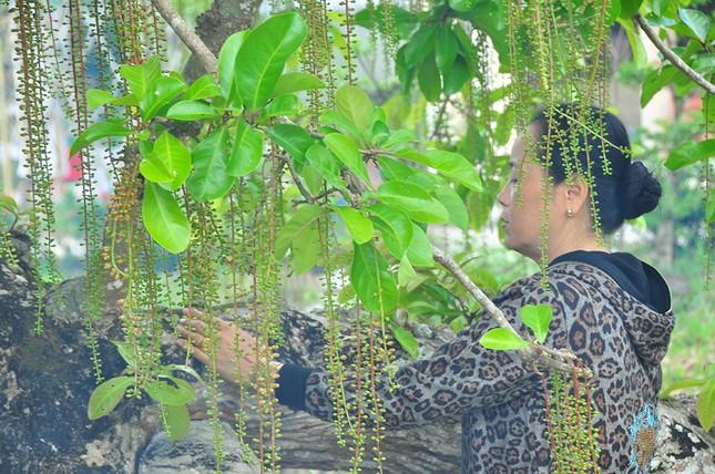 Lạ lùng cây lộc vừng 300 năm tuổi ở miền Tây lần đầu nở hoa đúng dịp Tết ảnh 11