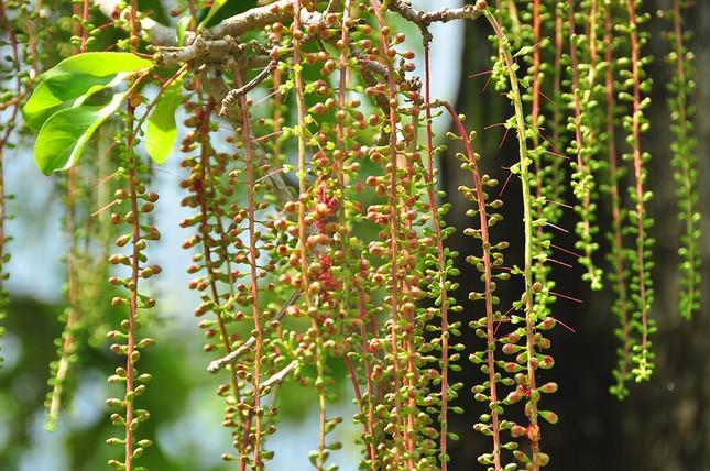 Lạ lùng cây lộc vừng 300 năm tuổi ở miền Tây lần đầu nở hoa đúng dịp Tết ảnh 12