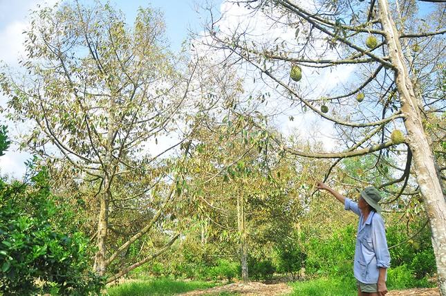 Nông dân đau đớn nhìn cây trái chết do hạn mặn lịch sử ảnh 7