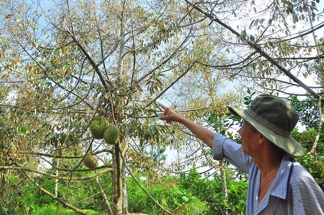 Nông dân đau đớn nhìn cây trái chết do hạn mặn lịch sử ảnh 2