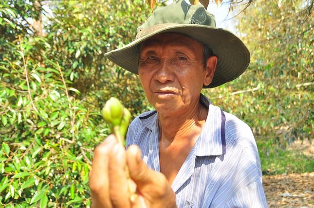 Nông dân đau đớn nhìn cây trái chết do hạn mặn lịch sử ảnh 10