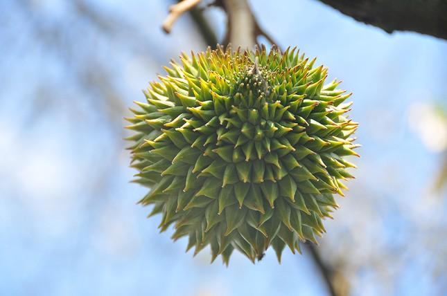Nông dân đau đớn nhìn cây trái chết do hạn mặn lịch sử ảnh 9