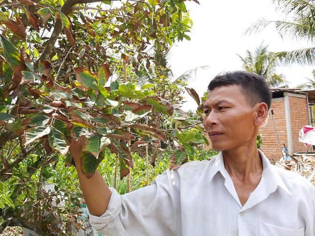 Nông dân đau đớn nhìn cây trái chết do hạn mặn lịch sử ảnh 13