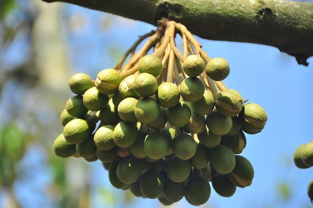 Nông dân đau đớn nhìn cây trái chết do hạn mặn lịch sử ảnh 4