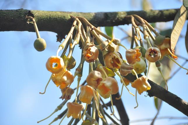 Nông dân đau đớn nhìn cây trái chết do hạn mặn lịch sử ảnh 5