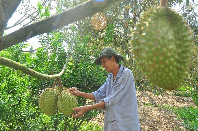Nông dân đau đớn nhìn cây trái chết do hạn mặn lịch sử ảnh 8