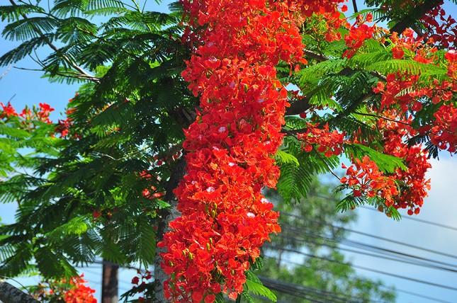 Ngỡ ngàng con đường hoa phượng tuyệt đẹp ở Hậu Giang ảnh 4