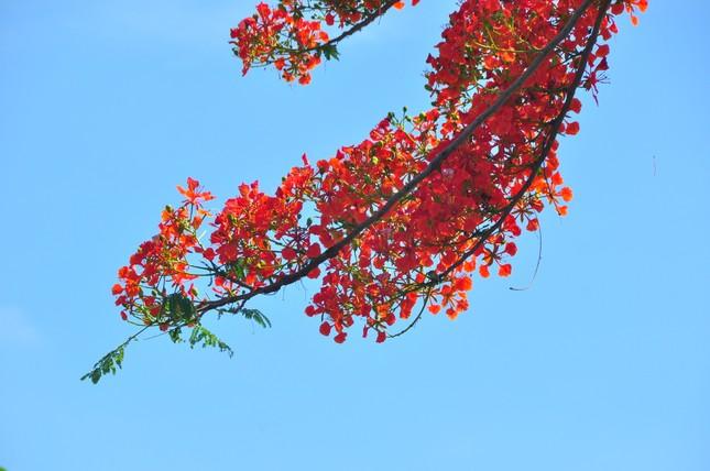 Ngỡ ngàng con đường hoa phượng tuyệt đẹp ở Hậu Giang ảnh 9