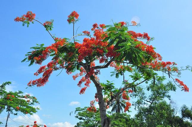 Ngỡ ngàng con đường hoa phượng tuyệt đẹp ở Hậu Giang ảnh 11